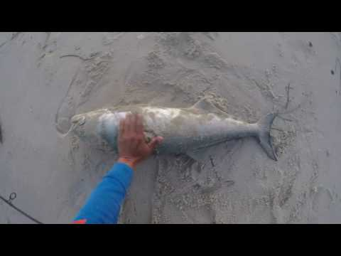 Gator Bluefish Fishing New Jersey