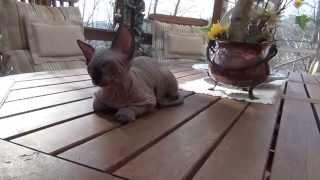 sphynx kitten Arsenio - 9 weeks