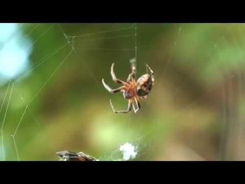 Паук плетет паутину.