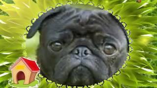33 собаки Я решил купить собаку🐕(Я решил купить собаку. И хочу у всех спросить: Как название породы, Что мечтаю я купить? Чтобы стоил три рубля..., 2016-08-08T10:20:54.000Z)