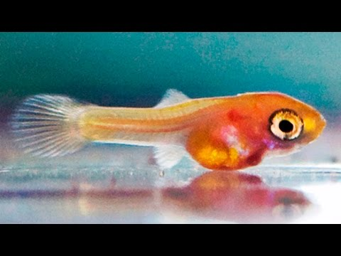 How To Dramatically Increase Growth Rates Of Guppy Fry My Top 10 Tips ᴴᴰ