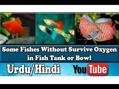 Some Fishes Without Survive Oxygen Extra Oxygen Urdu Hindi Youtube