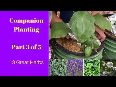 Companion Planting - Part 3 (Herbs)