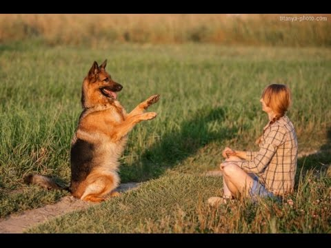 German Shepherd Oliris Land Almeranna (tricks)
