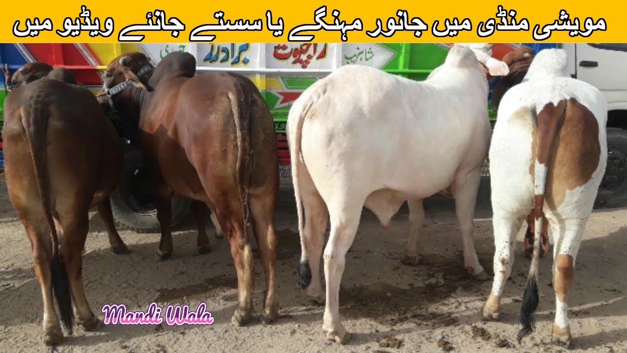 108 | Cow Mandi 2018/2019 Multan | Video in Urdu/Hindi With Prices | Bull  Qurbani
