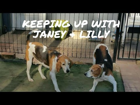 Rescued English Foxhounds coming to their forever home