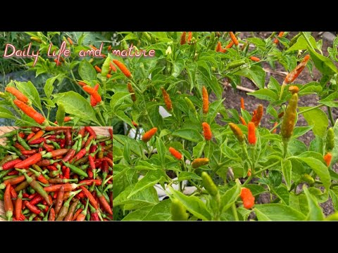 Bird eye chili Growing || Bird Eye Chili Plants || How To Grow Bird Eye Chili in Bag