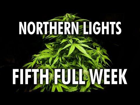 Northern Lights Autoflower Week 5 - Legal Cannabis Grow