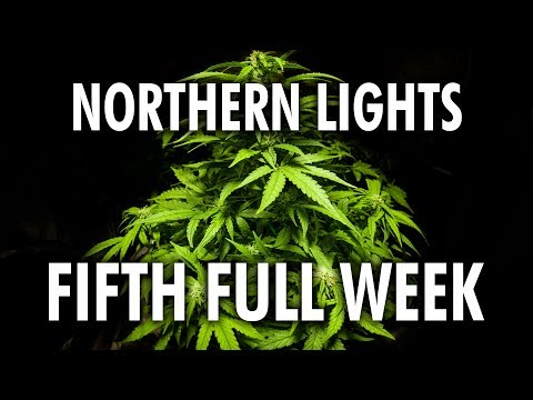 Northern Lights Autoflower Week 5 – Legal Cannabis Grow