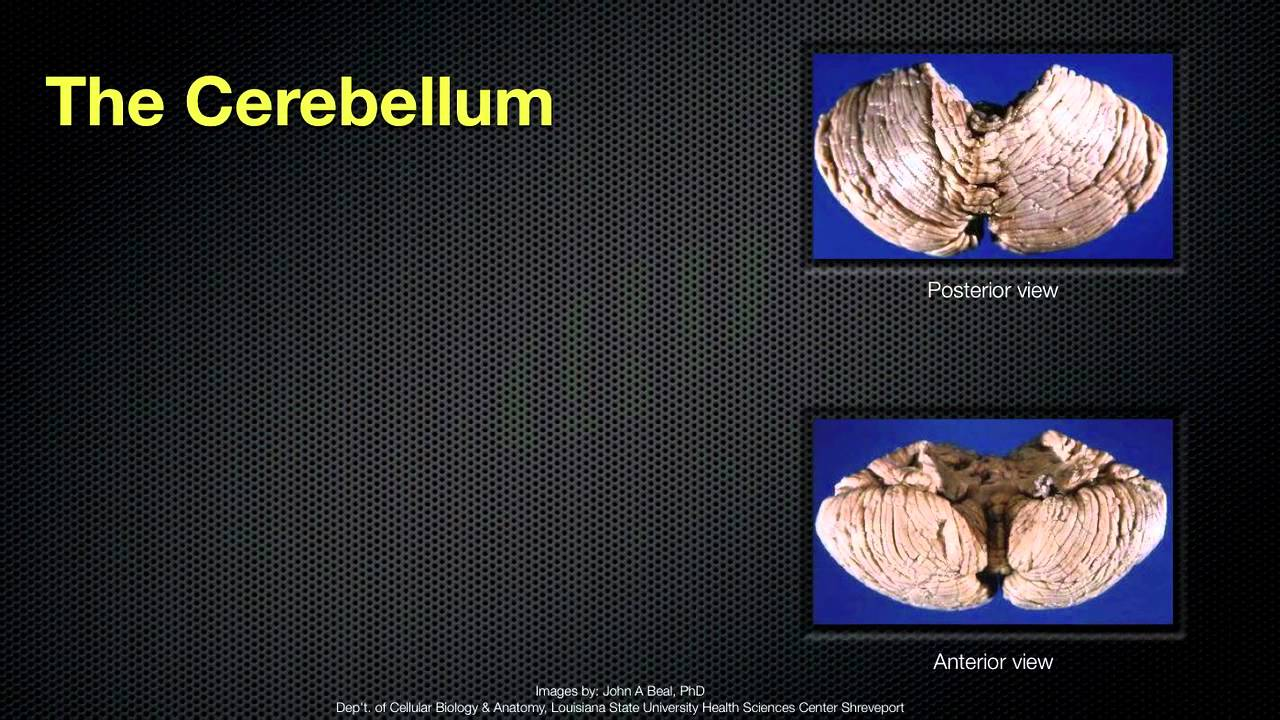 068 The Anatomy And Function Of The Cerebellum Youtube