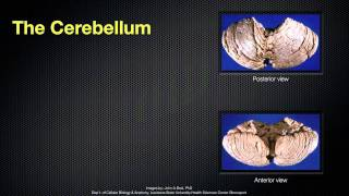 068 The Anatomy and Function of the Cerebellum