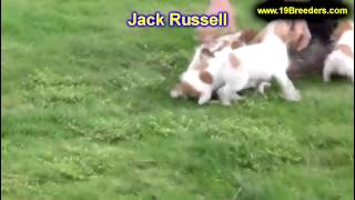 Jack Russell, Puppies, For, Sale, In, South Bend, Indiana, County, In, Allen, Hamilton, St  Joseph,