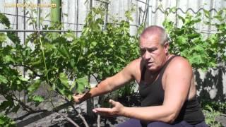 Технология выращивания винограда -- ч.4(Технология выращивания винограда -- ч.4. Нормирование виноградных кустов Видео записано администрацией..., 2012-06-01T01:52:57.000Z)
