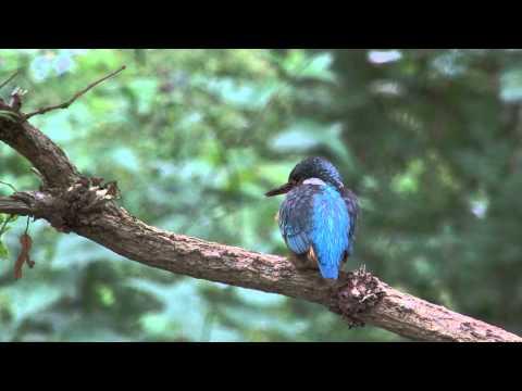 Vroege Vogels - Paring ijsvogels