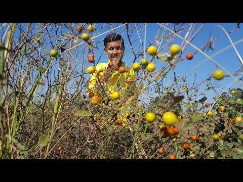 Spacial Fruit in Jungal | Jujube | Bair Fruit | Chinese Date | Unaab Fruit | Vlog