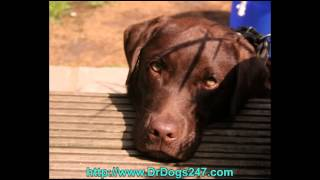 Natural Ear Drops For Labrador Retrievers.mp4