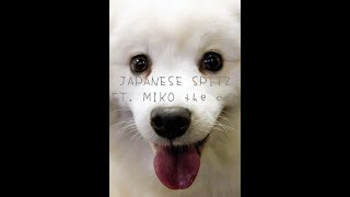 Japanese Spitz Ft. Miko The Cat 😁