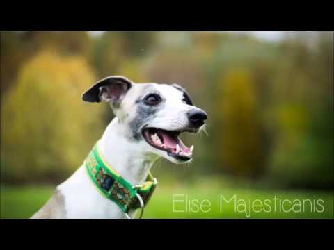 ELISE Majesticanis - agility, tricks and fun with whippet!