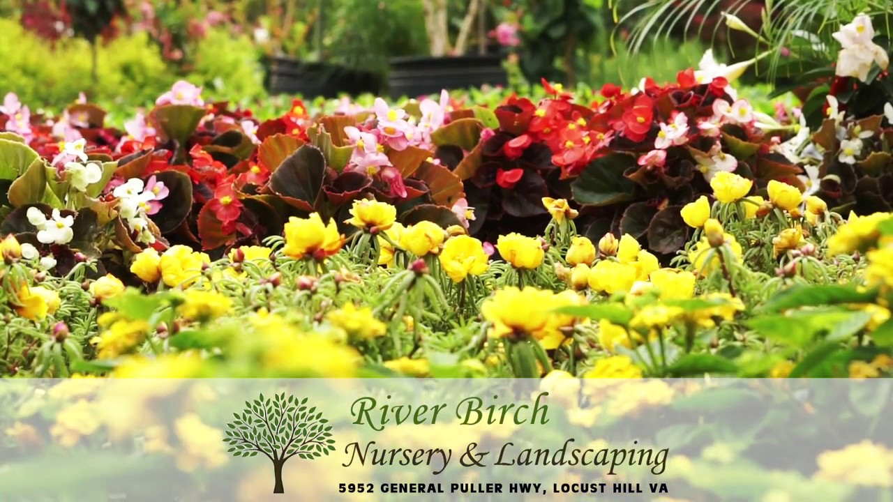 River Birch Nursery Landscaping