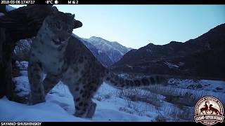 Видео: Снежный барс (ирбис) гуляет по заповеднику