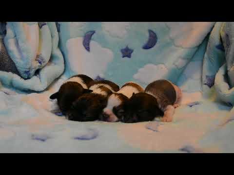 MythicKingdom Chinese Crested puppies 1 5 weeks sleeping