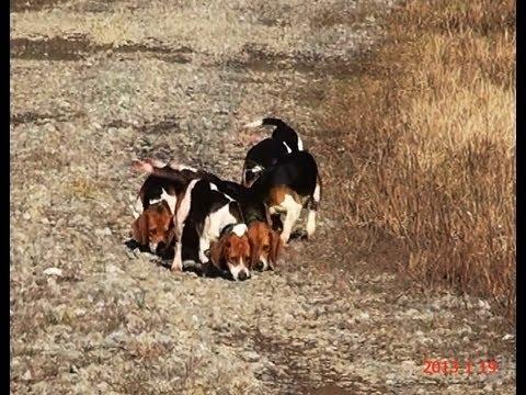 Beagle hunting - photo#44