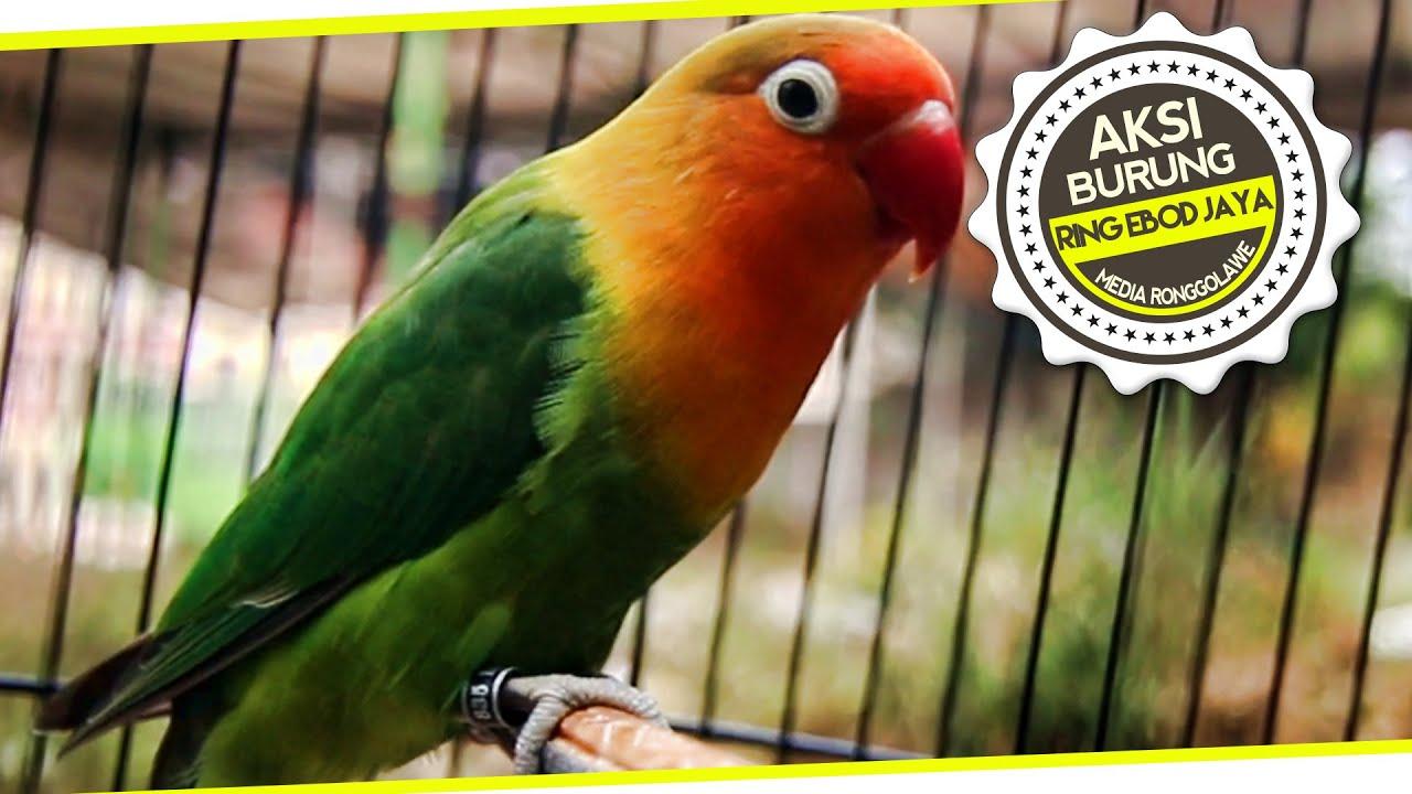 suara burung anakan 7 bulan lovebird ring ebod jaya 835