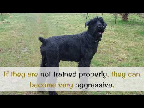 10 Facts You Should Know About Black Russian Terrier