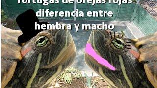 tortuga de orejas rojas diferencia entre hembra y macho