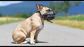 French Bulldog Won't Stop Attacking Dogs !