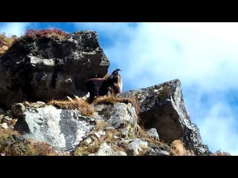 Mountain Tahr seen on the way to Everest Base Camp Trek | Himalayan Leisure