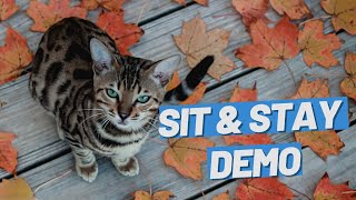 Teach Your Cat Sit And Stay  A Lifechanging Trick #Shorts