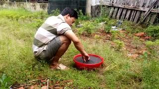 Hướng dẫn trồng cây dược liệu đinh lăng sống khỏe trên đất cằn cỗi