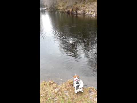 Jack Russells Swimming In The Lake District