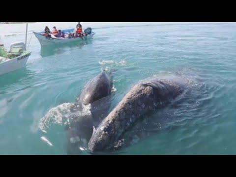 Turistas Viven Espectáculo De Ballenas Grises En Noroeste De México