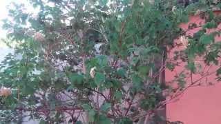 видео Опрыскиваем калину от черной тли. Сайт sadovymir.ru