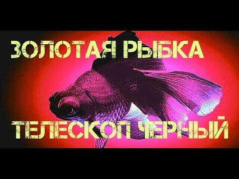 Аквариумные рыбки.Телескоп Черный