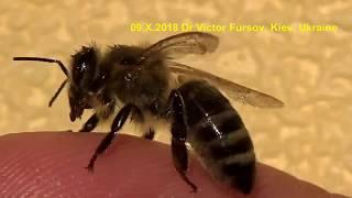 Чудо-Юдо Медоносная Пчела: Как Завести Пчел в Городе?