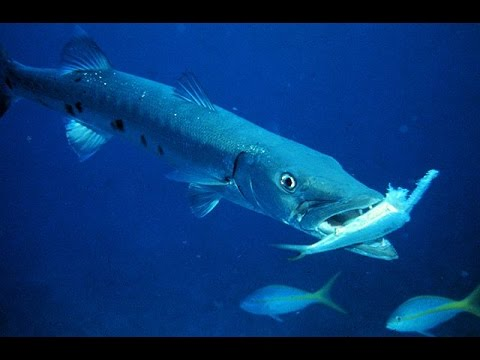 Animal Planet - GREAT BARRACUDA ATTACK (Animal Nature Documentary)