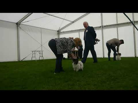 P1040331Best of Breed challenge, Papillons Darlington 2017