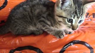 котенок от кошки крысоловки с уникальными рабочими качествами 1,5 месяца