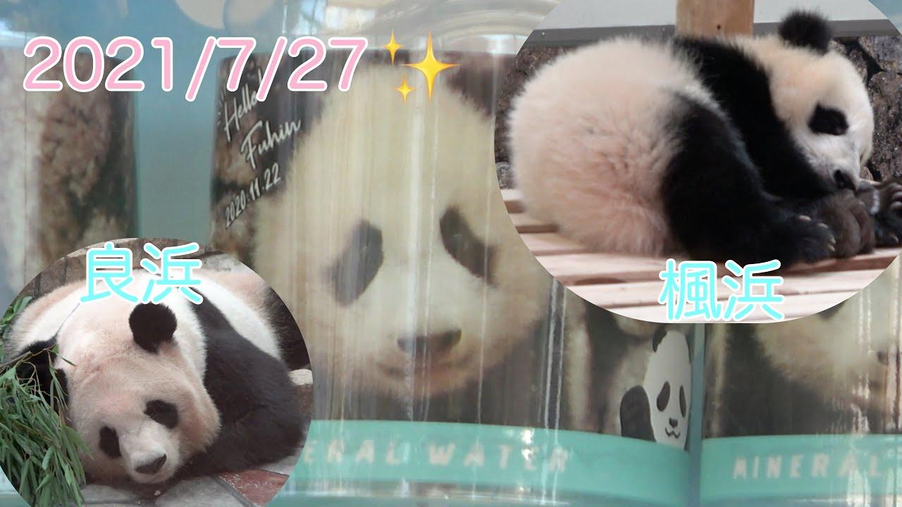 【楓浜🍁良浜🍯飼育員さん解説あり📷7/27】本日の浜家🐼/ブリーディングセンター/アドベンチャーワールド/ジャイアントパンダ/panda cub