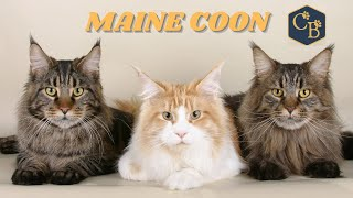 Maine Coon  The biggest cat in the world
