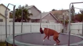 Собака любит прыгать на батуте