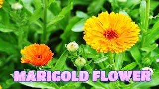 Top 10 Colorful MariGold Flower Ever You Seen | Amazing Flowers Video(HD)