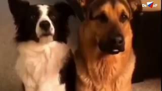 Комедия 40  Собаки и Кошка