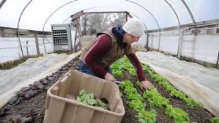 Cutting Greens at Cure Farm