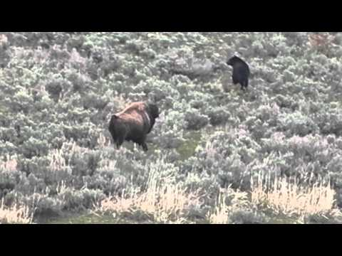Bison V Black Bear Yellowstone National Park 29/4/12