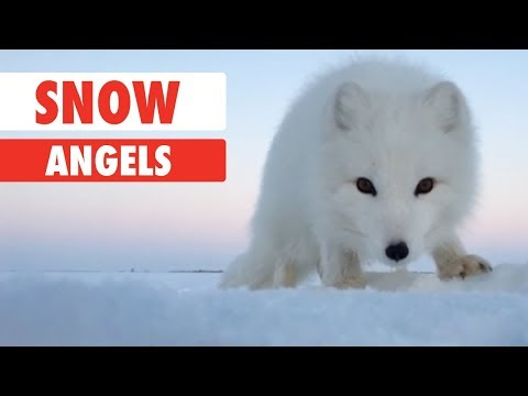 Snow Angels | Animals Playing In The Snow