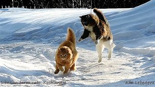 Siberian farm cats, Koshlandia, Cats playing funny, ИРИСКА и Лапочка, Кошки  играют